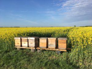 Bienen am Raps 2018